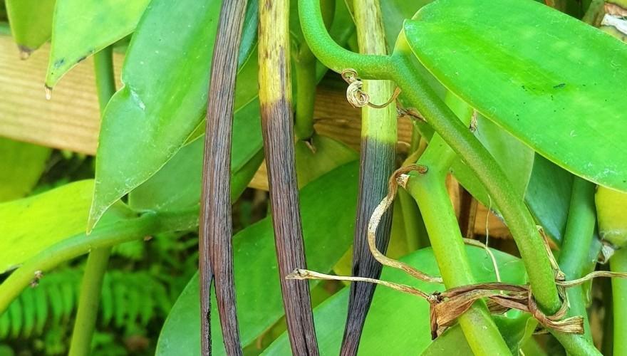 A la découverte de la vanille bleue à la Réunion