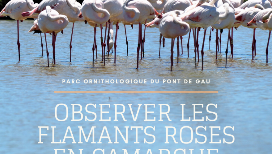 Observer les flamants roses au Parc Ornithologique du Pont de Gau